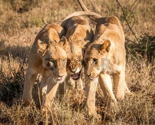 Bonding Lions in the Kruger National Park