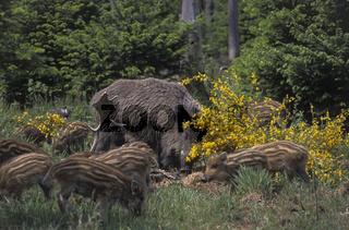 Wildschweinbache  Frischlinge fressen an einem verendeten Damhirsch - (Wildschwein) / Wild Boar sow  piglets feeding on a Fallow Deer stag cadaver - (European Boar - Wild Hog) / Sus scrofa  Dama dama