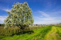 Blühender Apfelbaum (Malus domestica)