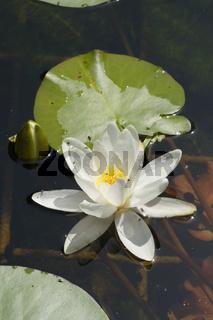 Nymphaea candida, Kleine Seerose