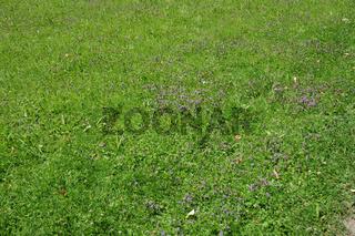 Prunella vulgaris, Braunelle, Selfheal