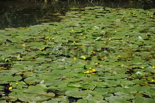 Nuphar lutea, Gelbe Teichrose, Yellow pondlily