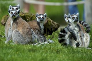 Katta ,Lemur catta,Affen Der Katta (Lemurcatta) Gruppe Lemuren Loewenzahn Löwenzahn Primat