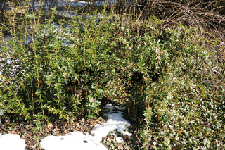 Berberis julianae, Immergrüne Berberitze, Chinese barberry