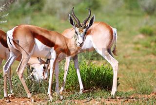 Springböcke, Etosha, Namibia, Antidorcas marsupialis, Springboks