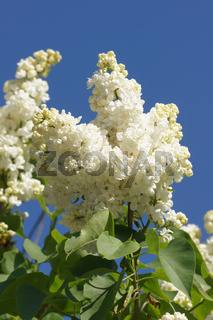 Syringa vulgaris Mme Lemoine, Flieder, Lilac