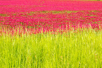 Red clover fields behind lush green grass
