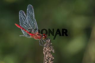 Gemeine Heidelibelle (Sympetrum vulgatum) nimmt ein Sonnenbad