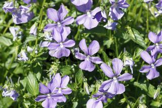 Viola cornuta, Wildes Hornveilchen, Horned violet