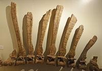 Teil der Wirbelsäule und Rückenknochen eines (Spinosaurus aegypt