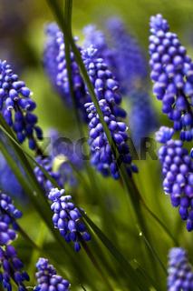 Muscari armeniacum. Grape Hyacinth