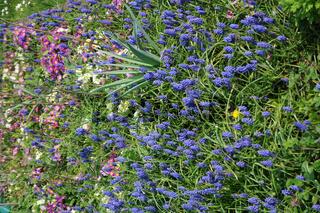 Muscari boryoides, Traubenhyazinthe, Grape hyacinth