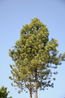 Pinus nigra, Schwarzkiefer, Black pine