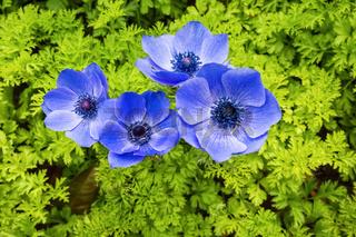 blue anemone coronaria