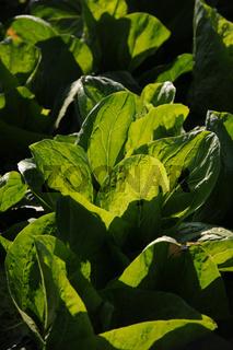 Lactuca sativa var. longifolia, Römersalat