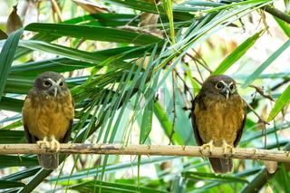 Ochre-bellied Boobook (Ninox ochracea) in Sulawesi
