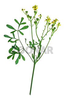Weinraute (Ruta graveolens)