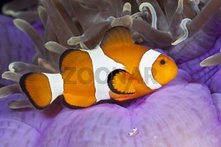 Orange-Ringel-Anemonenfisch, Indonesien