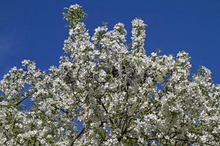 Blütenpracht im Frühling - blühender Zierapfelbaum