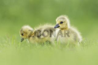 Canada Goose (Branta canadensis) babies