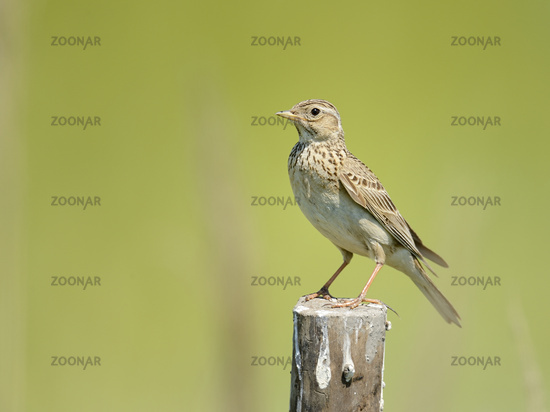 Crested Lark, Galerida cristata, Bulgaria, Europe