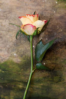 single rose on old wooden background