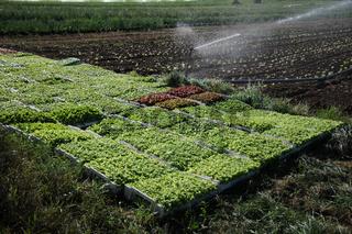 Lactuca sativa, Kopfsalat, Lettuce, Jungpflanzen