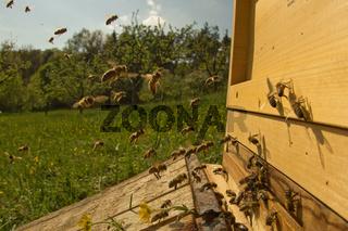 Honigbienen am Stock