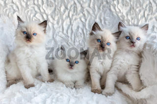 Four young Ragdoll cats sitting in a row