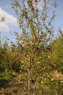 Malus domestica Elstar, Apfel, Apple