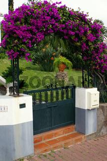 Kahle Drillingsblume (Bougainvillea glabra)