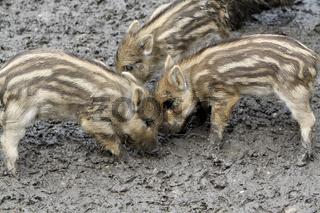 Wildschweine Frischlinge