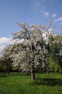 Malus domestica, Apfel, Apple, Streuobstwiese, orchard
