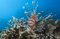 Rotfeuerfisch, Australien