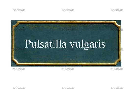 shield pulsatilla vulgaris