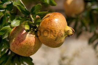 Pomegranate at the tree