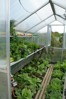 Lactuca sativa, Salat, Lettuce, im Gewächshaus