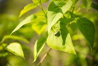 Green shield bug on leaf