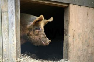 Eichelschwein