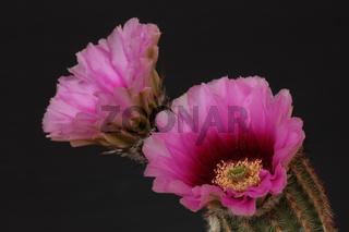 Kaktusbluete (Cactaceae)