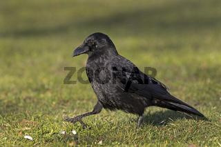 Aaskrähe, Rabenkrähe (Corvus corone), Hamburg,  Deutschland, Europa