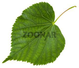 fresh leaf of Tilia cordata tree isolated