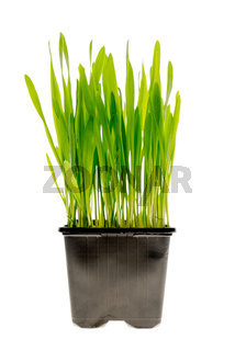 Wheat grass isolated