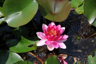Nymphaea Little Champion, Seerose, Waterlily