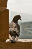 pigeon beside a stone