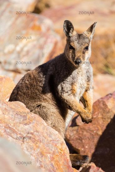 Australian Rock Wallaby