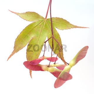 Faecherahorn; gruener, Acer, palmatum, Osakazuki,