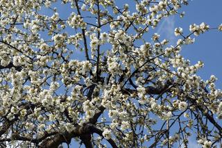 Kirschbaumblueten