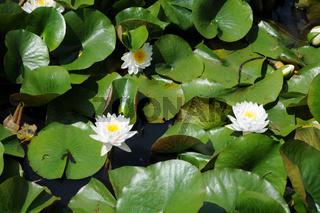 Nymphaea Karl Wachter, Seerose, Waterlily