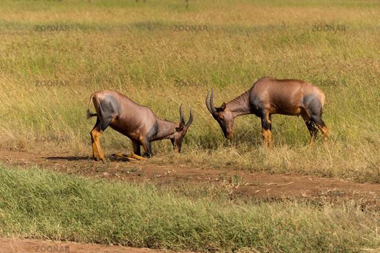fighting topi antelopes